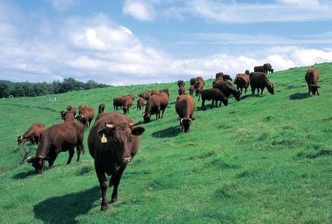 広い牧草地でのんびりと過ごす山形村短角牛(岩手県久慈市)
