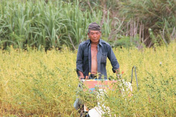 ごまを収穫する鹿児島県喜界島の生産者