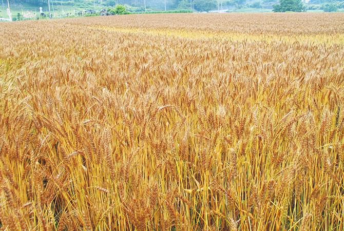 2014(平成26)年度の小麦の自給率は12%。国産小麦はうどんや中華麺などの麺類に加工される中力粉が主流。パン用の準強力粉は主に北海道で栽培されています。最近では大手製パンメーカーでも「国産小麦使用」という優位性を打ち出しブランド化する商品も増えてきています。