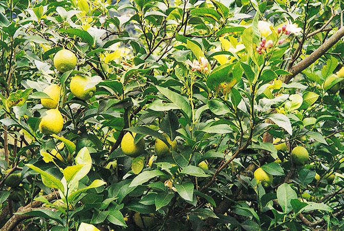 防カビ剤の心配がない国産を選べは安心です。お菓子や料理の添え物、飲み物に、利用頻度が多いレモンの実と花。