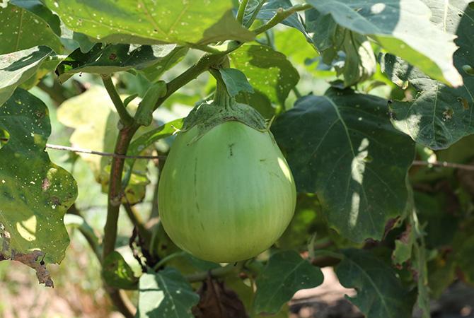 埼玉県の在来種「埼玉青なす」。おいしいからと以前は自家用で栽培していました。在来種なのでもちろん自家採種しています。グラタンやピザにするとおいしいこのナスは、食べる価値ありの逸品です。大地宅配では、在来品種野菜セット「日本むかし野菜」に入ります。