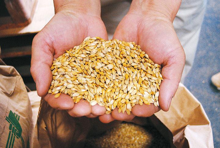 山形県産農薬不使用栽培の大麦。麦茶は、煎った大麦を煮出して作り、素材をそのままに近い状態で味わうもの。だからこそ、安心できる原料のみを使いたいと、大地宅配は考えます。