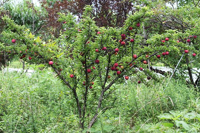 植えてからもう6~7年経つのに、一般では3年生くらいの大きさのすもも。 このすももはこの畑でタネを採った古郡オリジナル品種でもあります。 古郡さんがタネを採って育てたオリジナル品種は10種類ほどあり、個性豊かにそれぞれの味を主張しています。