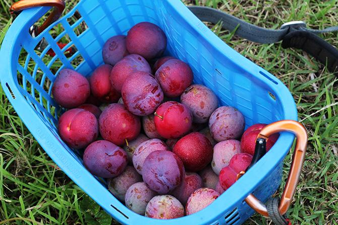 古郡さんは採り時にも気を使い、十分に熟して味がのったものを収穫しています。こじんまりと肉質の硬い実が特徴なので、熟度が高くても出荷できるのです。
