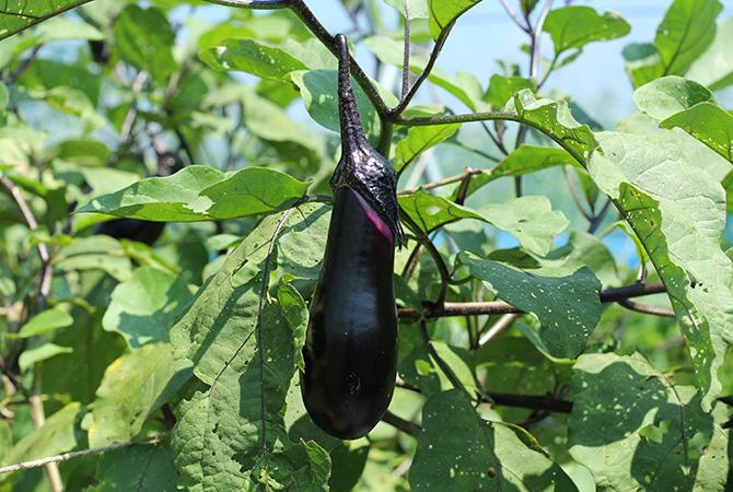 瀬山さんが栽培しているなすのうちの半分は、自家採種したタネを使っています。瀬山さんの畑で生まれた瀬山オリジナル。おいしいのは当然かもしれませんね。