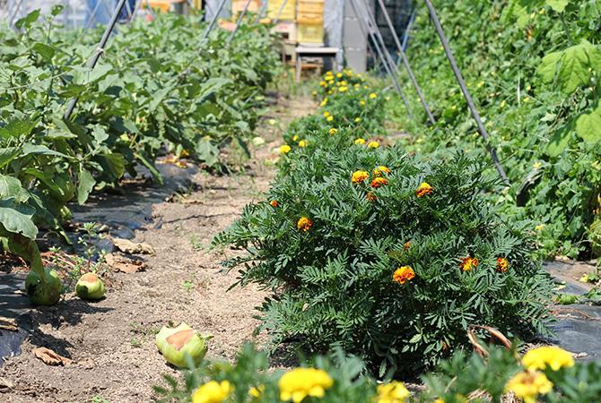 作物の間にところどころマリーゴールドやハーブが植えられています。害虫の忌避作用を持つもの、天敵を育てるものなど、目的によってさまざまな植物があちこちに栽培されており、にぎやかな瀬山さんの畑です。