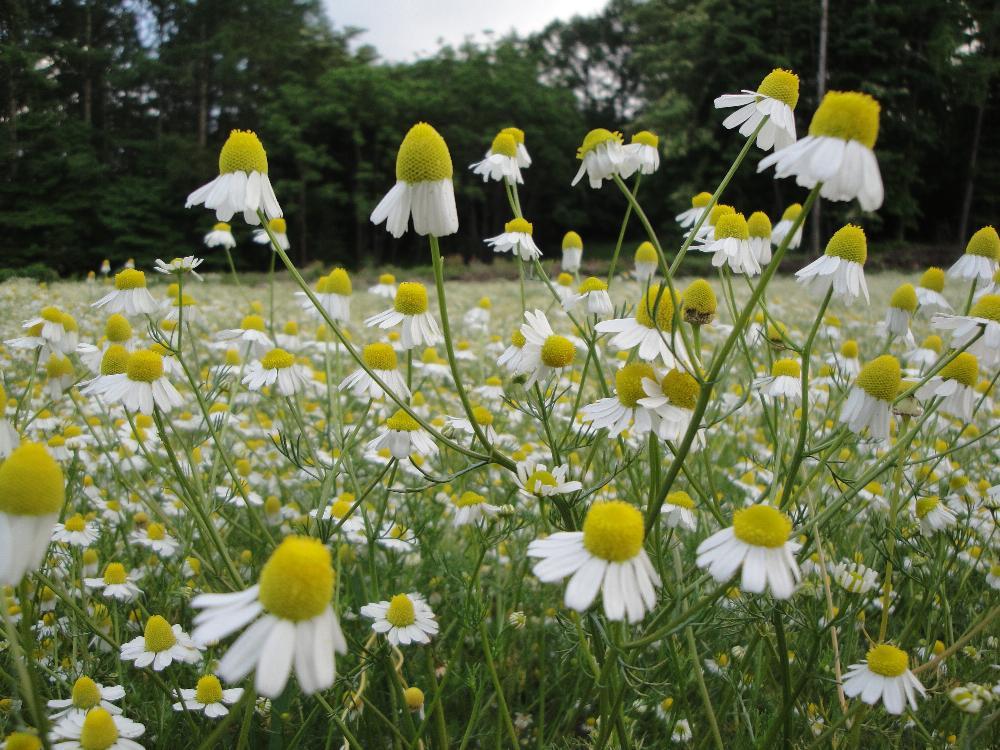 花びらが下をむくカミツレの花