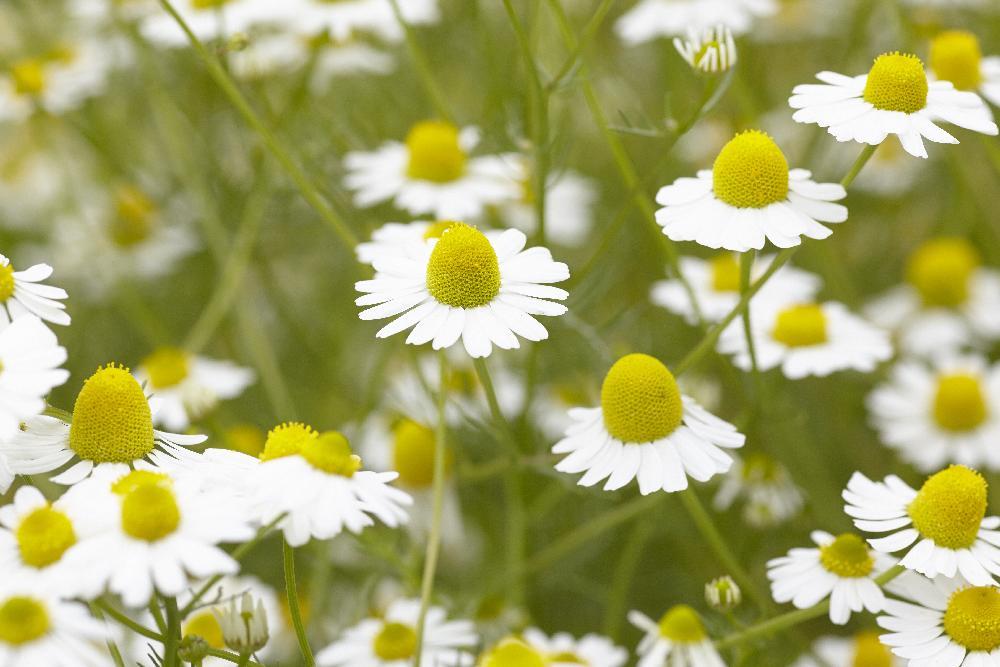 カミツレの花