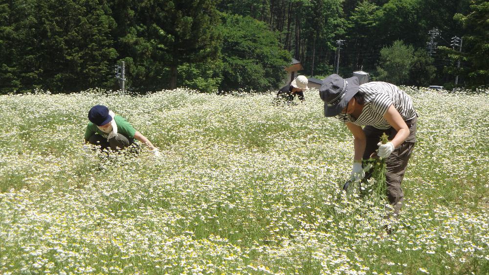 カミツレ収穫の様子