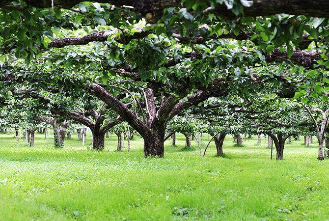 梨の畑は草生栽培。一般的には株元に除草剤を使われることも多いのですが、除草剤は一切使用せず、手間ひまかけて草刈機を使っています。風通し良く、気持ちのよい梨畑です。
