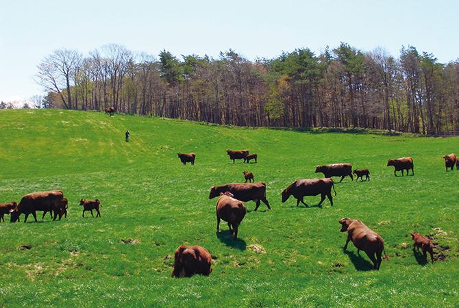 短角牛の放牧