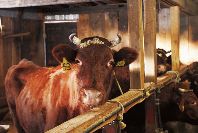 「夏山冬里方式」で育つ山形村短角牛。