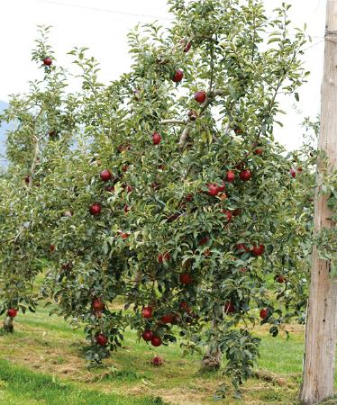原さんのりんご畑