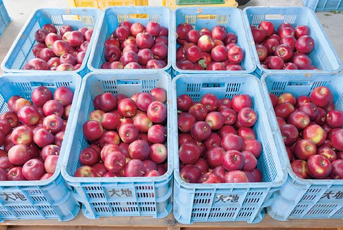 収穫後のりんご