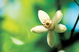 ネローラ花香房はネロリ精油製品化を実現。 水俣公害の教訓から国産ネロリの開発に至る経緯の話をきく。