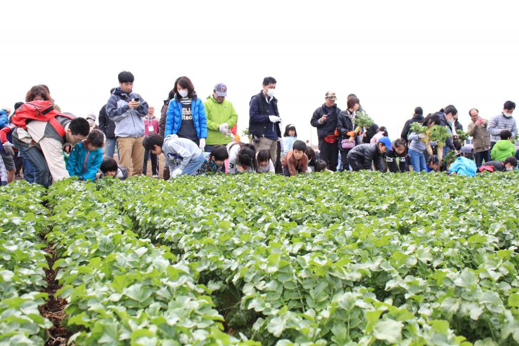 一面に広がる大根畑で収穫体験