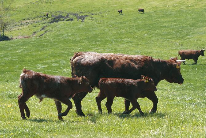 山形村短角牛