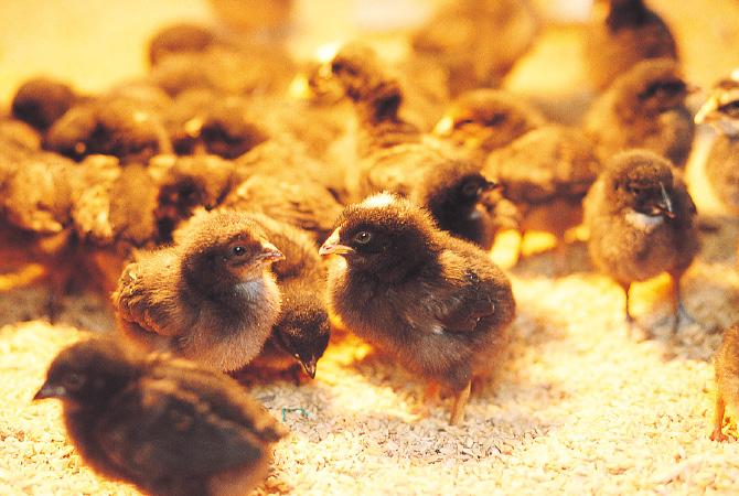 大地を守る会の生産者はヒナから育てているので、飼育履歴も明らか。ふ化したての頃はつきっきりで面倒をみています