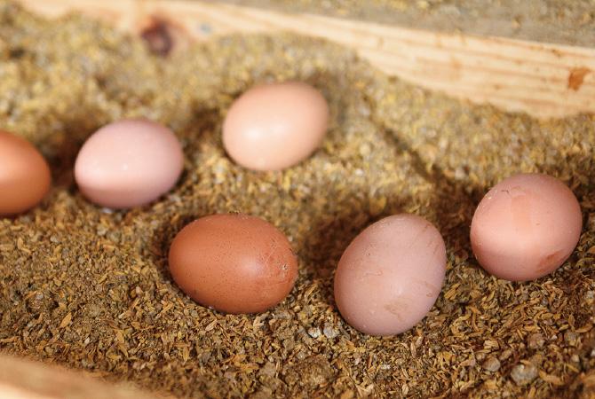 本田さんが育てるのは「ネラ」という卵用種の黒鶏。「卵の質が良いし、この赤みがかった色も好きなんだよね」と本田さん