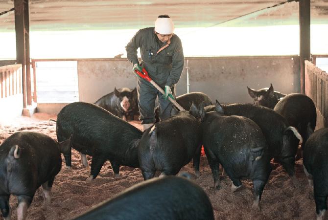 広い豚舎で適度に運動させて、一般よりも1カ月も長く育てることでうまみをのせています