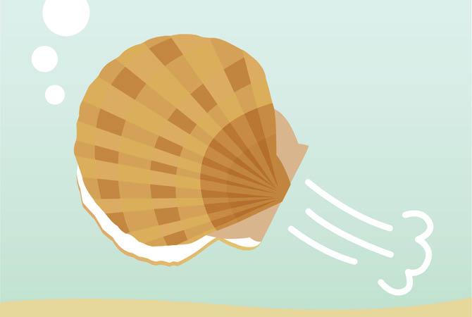 貝柱を伸縮させて泳ぐことで、鍛えられる貝柱。適度な弾力があり甘みが増します