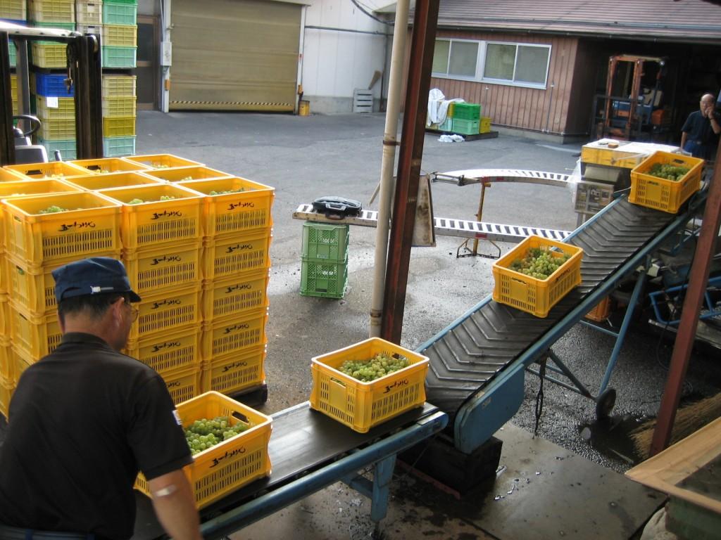 契約栽培農家から今日は50トンのぶどうの入荷がありました。