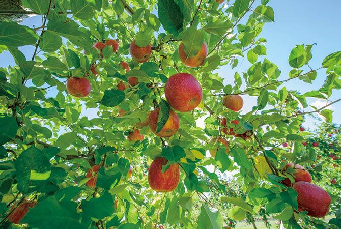 陽が当たるように剪定し、真っ赤に色づくりんご。