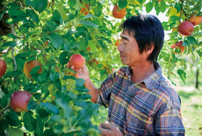 りんご栽培の第一人者であった父の技と精神を受け継いだ原俊朗さん。完熟を見極めて収穫します。