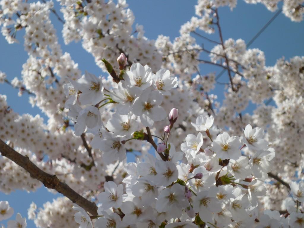 咲き誇る桜(提供:富岡復興ソーラー)
