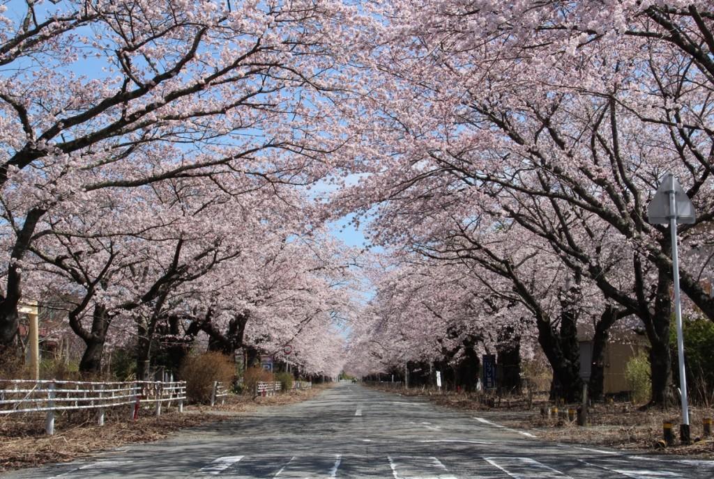 富岡、桜並木