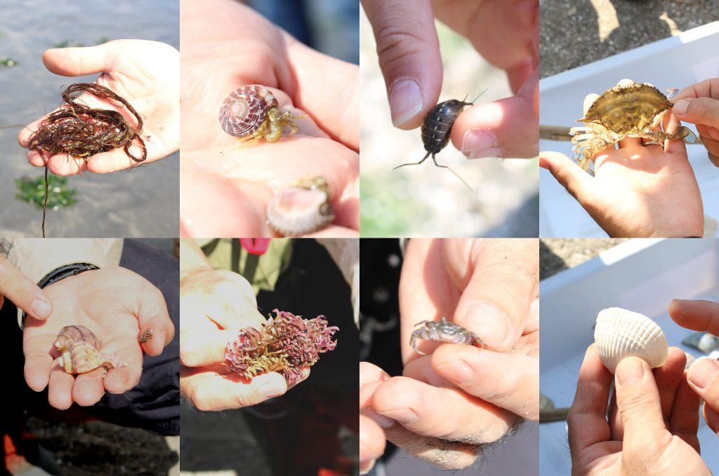 上段左から、オゴノリ、イボキサゴの殻に入ったヤドカリ、ふなむし、ガザミの脱皮殻、アカニシ、アカニシガイの卵の殻、チコガニ、サルボウガイ