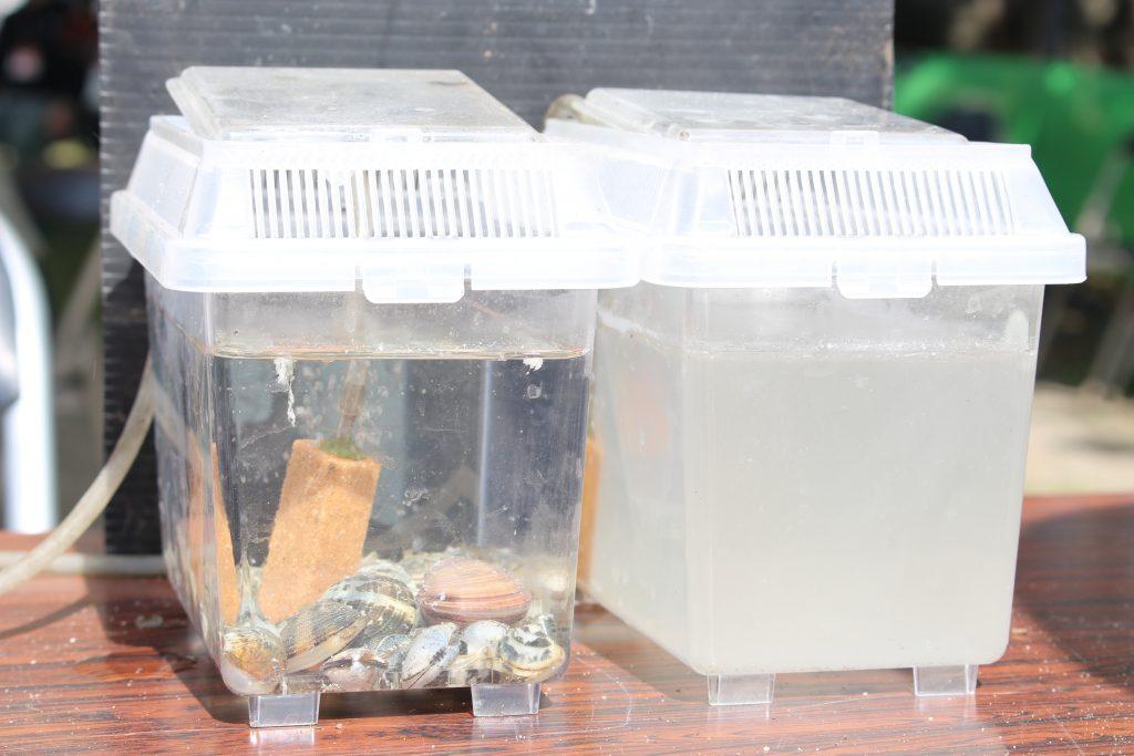 アサリの水槽(左)は水が透明に、何もいない水槽(右)との違いは一目瞭然