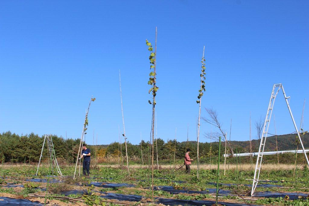 1年で4mを超える背丈になったものも。ぶどうというと、棚のようになる樹を想像しますが、最初はこんなにひょろっと伸びています。