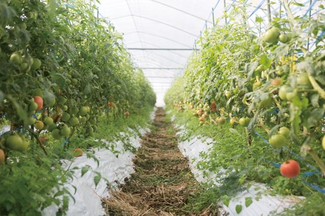 化学肥料を使用せず、「野草堆肥」で作った土。栽培中も畝間にわらを敷き、微生物の活性化を促します。