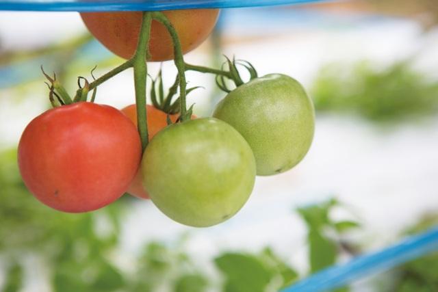 春のトマトはゆっくり、じっくりおいしくなります。