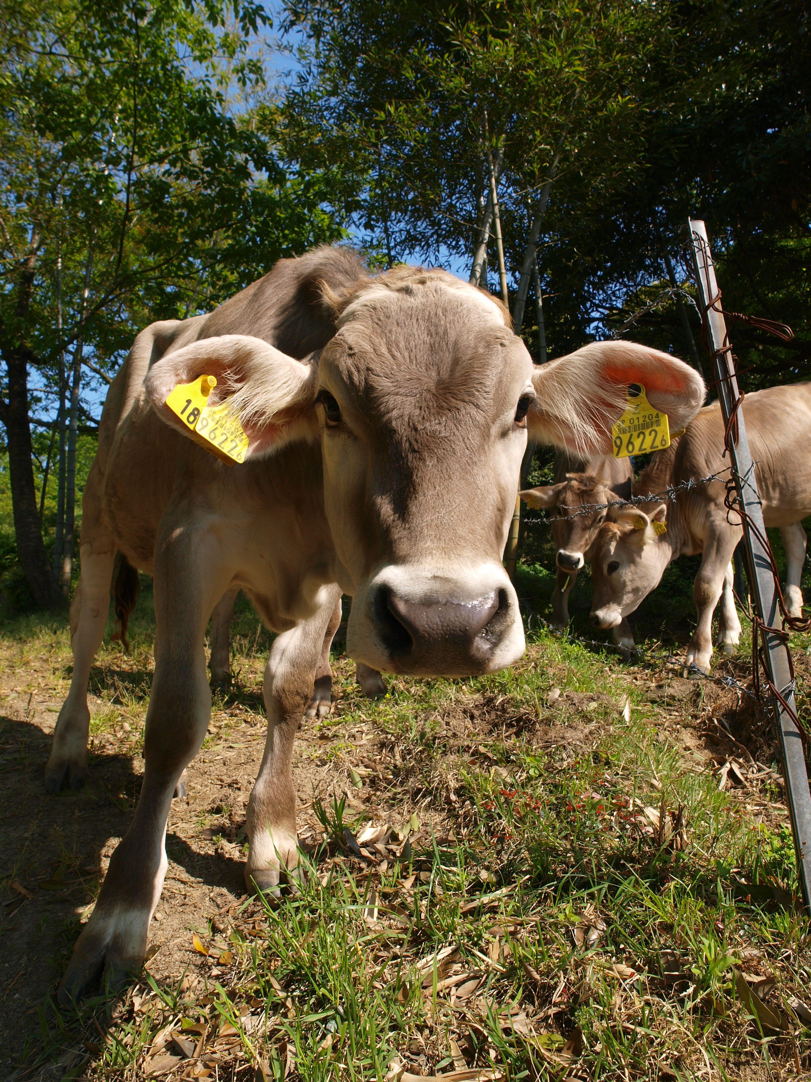 大地を守る会、牛乳、低温殺菌