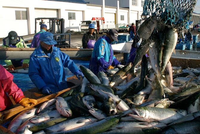 日本の天然鮭は、安全性と食味の良さで海外で人気が高まっています