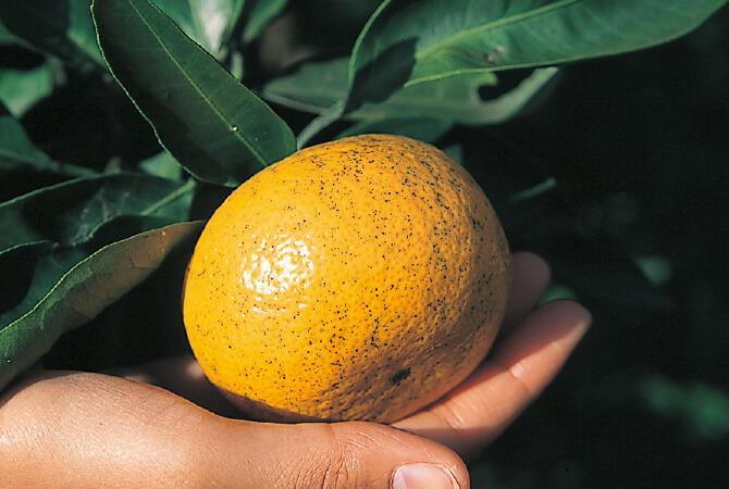 黒点や黒ずみは、農薬を抑えている証です