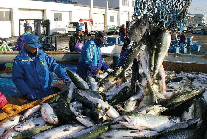 大きさ、脂のり、身質の良さの「3特」を兼ね備えた国産の鮭が原料
