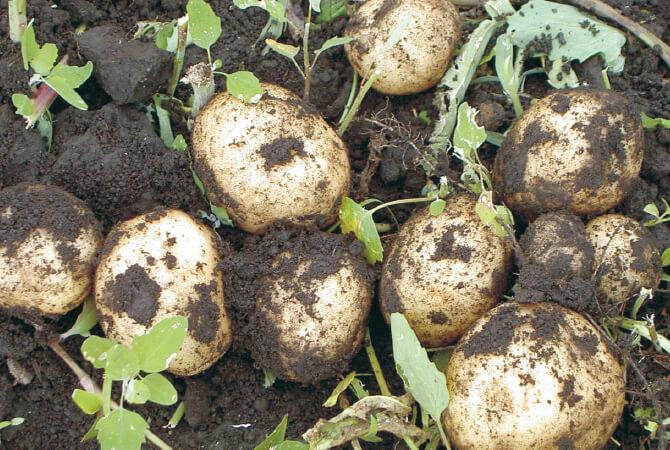 今号でお届けするのは、昨年収穫したもの。適温での貯蔵を経て、やさしい甘みが育っています