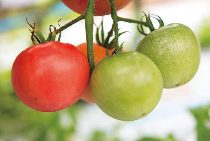 夏のトマトの倍近くかかって色付く、春のトマトの実。今号では、時間をかけておいしくなった、うまみの濃さを実感する春トマトをお届けします。