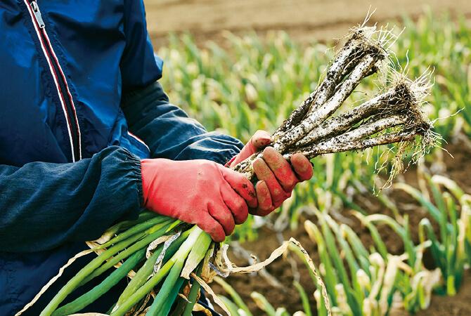 一年かけて育ったねぎの収穫。この後、長いひげ根と緑の本葉を一つ一つ手作業でカットする。