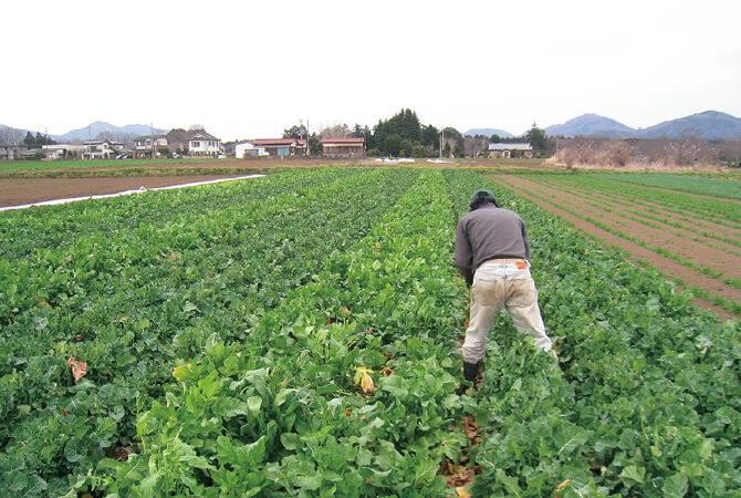 ぽかぽか陽気の日には、天に向かって背伸びをするように勢いよく生長し、寒の戻りを感じる日には、体を縮めて耐えるように見える菜っぱ。2~3回摘み採って収穫を重ね、4月上旬で出荷終了です。