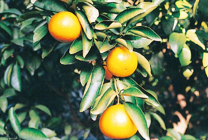 樹上で完熟を待つニューサマーオレンジ。木なり完熟の栽培が盛んな南伊豆では、熟すのを見計らってから収穫するため、果汁もみずみずしく、甘くジューシーな果実になります。