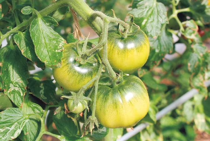 水を抑えるといびつになるため、形よく作るのが難しい大玉のトマト。出荷後、お届けの過程で赤く熟れていきます。