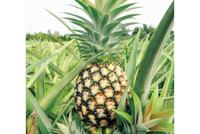 収穫時期を計算するものの、当日になるまで収穫数が読めないのが完熟パイナップルの難しいところ。出荷数300玉の日もあれば3000玉の日もあり、目算が立てづらい。