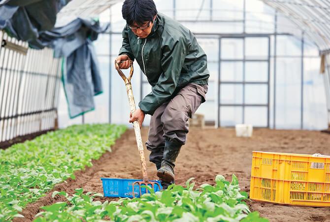 葉を傷付けないようにルコラを収穫する賢太郎さん。この後一つ一つはさみで根を切り落とします。