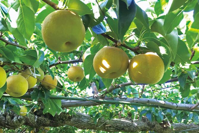 木に実る「甘さしたたる南水(梨)」