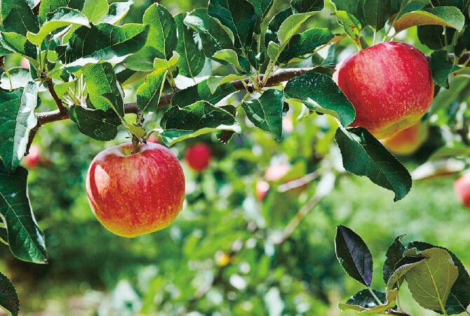 木に実るりんご