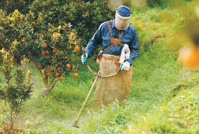 みかん畑の草刈り